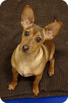 Chihuahua/Dachshund Mix Puppy for adoption in Dublin, California - Tupac