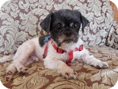 Shih Tzu Dog for adoption in Wilmington, Massachusetts - Willis