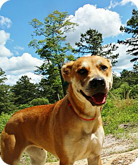 Carolina Dog Mix Dog for adoption in Forked River, New Jersey - Darla