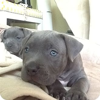 American Pit Bull Terrier Mix Puppy for adoption in Los Angeles, California - Minnie