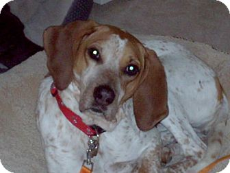 English (Redtick) Coonhound Dog for adoption in Chesterfield, Michigan - Bella  2015 (m/c)