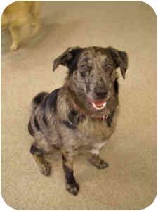Australian Cattle Dog/Labrador Retriever Mix Dog for adoption in Chester, Maryland - Reggie