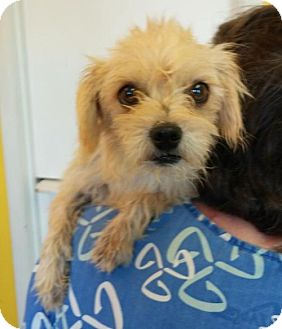 Terrier (Unknown Type, Medium) Dog for adoption in Phoenix, Arizona - Iris