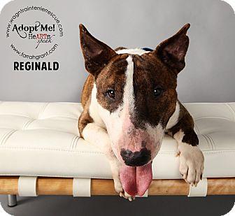 Bull Terrier Dog for adoption in Omaha, Nebraska - Reginald