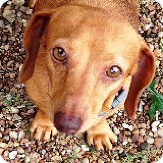 Dachshund Dog for adoption in Houston, Texas - Georgia Peach