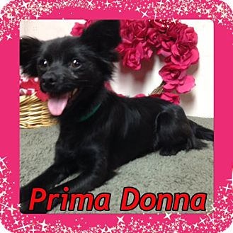 Chihuahua/Pomeranian Mix Dog for adoption in Pahrump, Nevada - Prima Donna