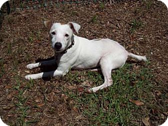 Jack Russell Terrier Dog for adoption in Green Cove Springs, Florida - Helen