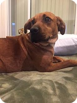 Labrador Retriever Mix Dog for adoption in Livonia, Michigan - Abigail-ADOPTED