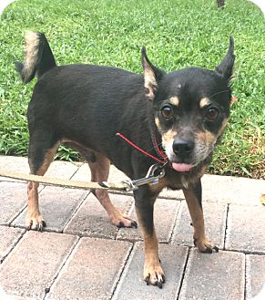 Miniature Pinscher/Chihuahua Mix Dog for adoption in Boca Raton, Florida - Freddie
