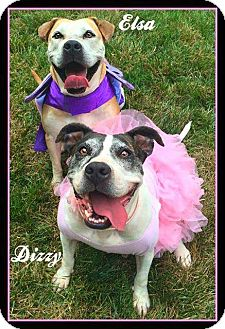 American Staffordshire Terrier/Labrador Retriever Mix Dog for adoption in Ann Arbor, Michigan - Dizzy