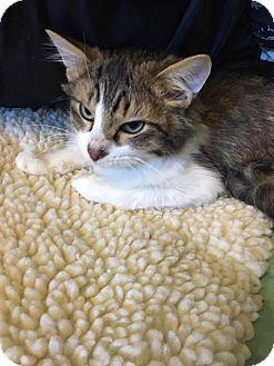 Domestic Mediumhair Kitten for adoption in Adrian, Michigan - Ace