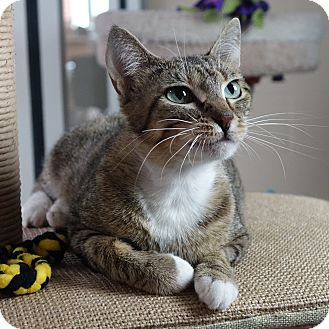 Domestic Shorthair Cat for adoption in Columbia, Illinois - Nefertiti