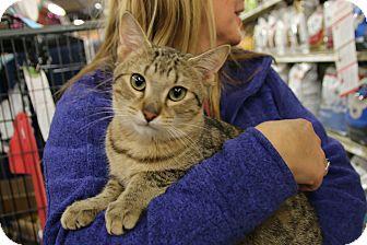 Domestic Shorthair Kitten for adoption in Rochester, Minnesota - Jimmy