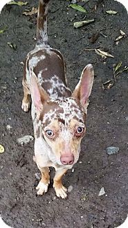 Chihuahua Dog for adoption in Fountain Valley, California - Ollie
