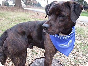 Labrador Retriever/Shepherd (Unknown Type) Mix Dog for adoption in Williamsburg, Virginia - SHADOW