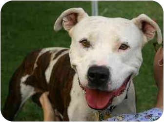 Boxer/American Bulldog Mix Dog for adoption in Auburn, California - Mel