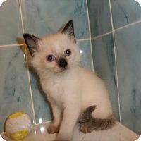 Adopt A Pet :: cashmere - Orlando, FL