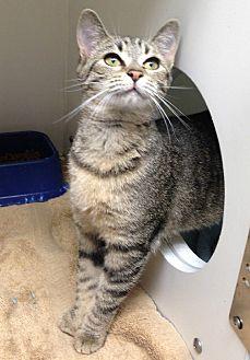 Domestic Shorthair Kitten for adoption in Putnam Hall, Florida - STRAWBERRY