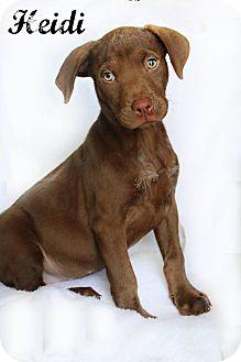 Labrador Retriever/Mixed Breed (Medium) Mix Puppy for adoption in Shreveport, Louisiana - Heidi