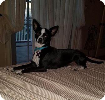 Chihuahua Puppy for adoption in Deerfield Beach, Florida - Jax