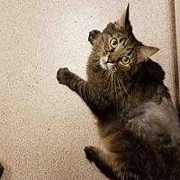 Adopt A Pet :: LOKI - Denver, CO