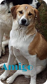 Australian Cattle Dog/Border Collie Mix Dog for adoption in Grand Rapids, Michigan - Amigo