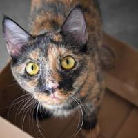 Domestic Shorthair/Domestic Shorthair Mix Cat for adoption in Clearwater, Florida - Daffy