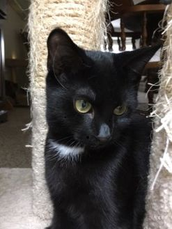 Domestic Shorthair/Domestic Shorthair Mix Cat for adoption in Canastota, New York - Twain