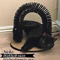 Domestic Shorthair Cat for adoption in Monrovia, California - NEKO