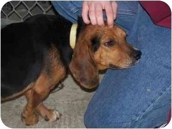 Beagle Dog for adoption in Shelbyville, Kentucky - Roscoe