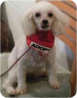 Poodle (Toy or Tea Cup) Dog for adoption in PRINCETON, New Jersey - Pearl
