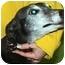 """Photo 1 - Greyhound Dog for adoption in Louisville, Kentucky - Carl (""""Kiowa Decarla"""")"""