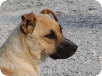 Mountain Cur/Boxer Mix Dog for adoption in Melbourne, Arkansas - Cora