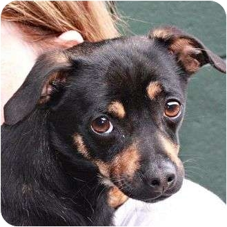 Chihuahua Mix Dog for adoption in Berkeley, California - Trevor