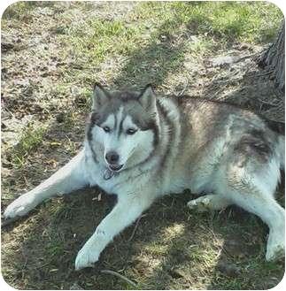 Husky Mix Dog for adoption in Sterling Hgts, Michigan - Krystal