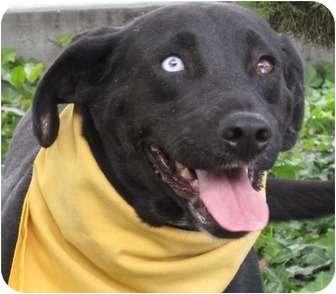 Labrador Retriever Mix Dog for adoption in San Diego, California - Zena