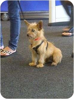 Yorkie, Yorkshire Terrier/Cairn Terrier Mix Dog for adoption in Crown Point, Indiana - Delta
