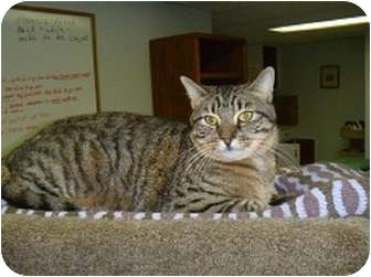 Domestic Shorthair Cat for adoption in Hamburg, New York - Bruno