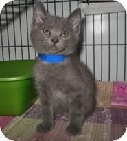 Domestic Shorthair Kitten for adoption in Shelton, Washington - Leland
