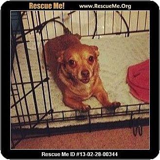 Chihuahua Dog for adoption in Bellflower, California - Zoe