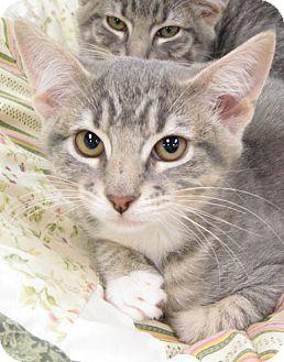Domestic Shorthair Kitten for adoption in San Leandro, California - Mimi