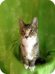 Domestic Shorthair Cat for adoption in Randleman, North Carolina - Griffin