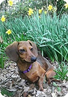 Dachshund Puppy for adoption in Decatur, Georgia - Teagan