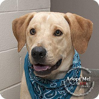 Labrador Retriever Dog for adoption in Troy, Ohio - Woody
