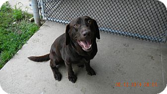 Labrador Retriever Mix Dog for adoption in Sandusky, Ohio - CINNAMON