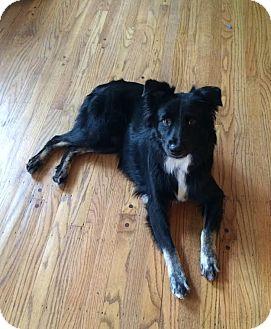 Australian Shepherd Dog for adoption in Washington, Illinois - Stanley