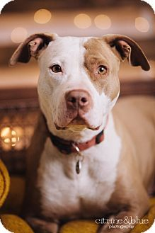 Pit Bull Terrier Dog for adoption in Portland, Oregon - Fay