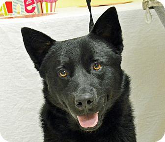 Shepherd (Unknown Type) Mix Dog for adoption in Searcy, Arkansas - Sampson