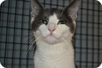 Domestic Shorthair Cat for adoption in Edwardsville, Illinois - Frenchie