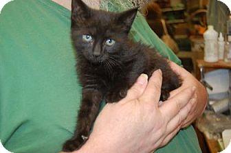 Domestic Shorthair Kitten for adoption in Brooklyn, New York - Inky